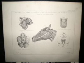 Miles Practical Farriery C1875 Antique Print. Horse Anatomy of Head, Earm Brain